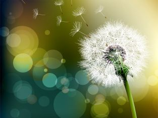 flower-dandelion-beautiful-hd-free-wallpapers-for-desktop